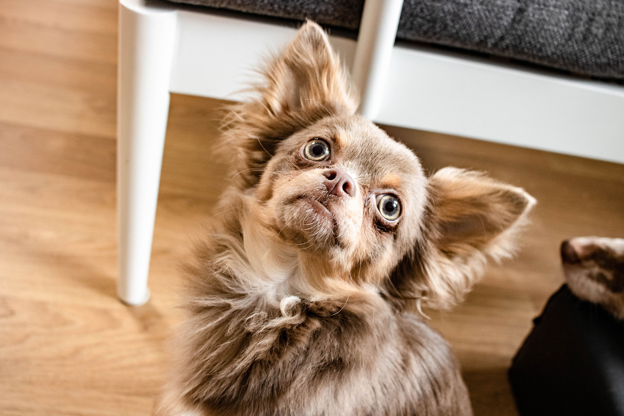 Lohilo Chihuahua